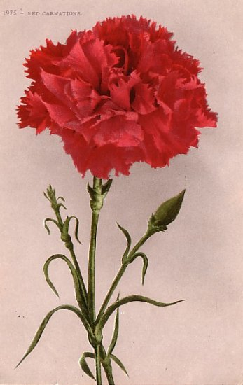 Red Carnations, Edward H Mitchell 1909 Vintage Postcard - M0034