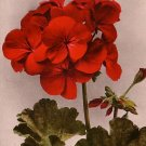 Red Geraniums, Edward H Mitchell 1909 Vintage Postcard - M0035