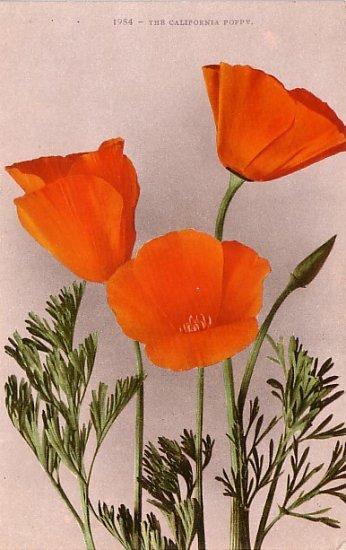 The California Poppy, Edward H Mitchell 1909 Vintage Postcard - M0037