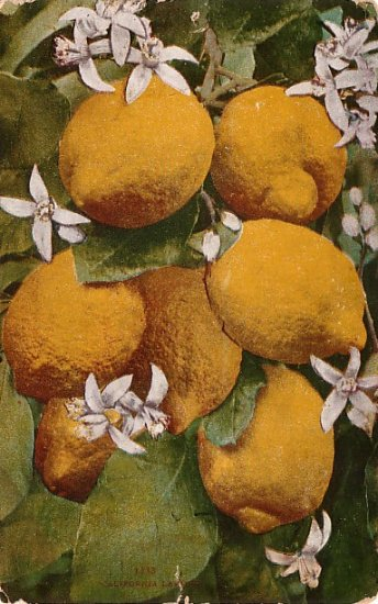 California Lemons, Edward H Mitchell 1910 Vintage Postcard - M0051