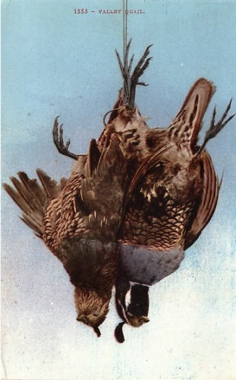 Valley Quail, Edward H Mitchell 1910 Vintage Postcard - M0061