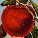 The Big Red Apple, Edward H Mitchell 1910 Vintage Postcard - M0082