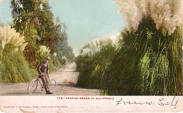 Man with Bicycle near Pampas Grass in California CA Edward H Mitchell 1906 Postcard - M0168