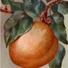 Apricot on Tree, Edward H Mitchell 1911 Vintage Postcard - M0208