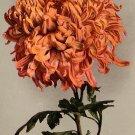 Chrysanthemum, Edward H Mitchell 1911 Vintage Postcard - M0220