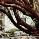 Calabash Tree on Road to The Peak in Bermuda, 1921 Vintage Postcard - 4071