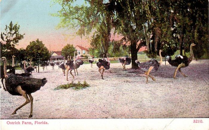 Ostrich Farm in Florida FL, Vintage Postcard - 4132