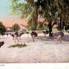 Ostrich Farm in Florida FL, Vintage Postcard - 4132