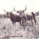 Longhorns in West Texas TX 1936 Vintage Postcard - 4583