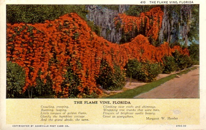 The Flame Vine of Florida Curt Teich Vintage Postcard - 4854