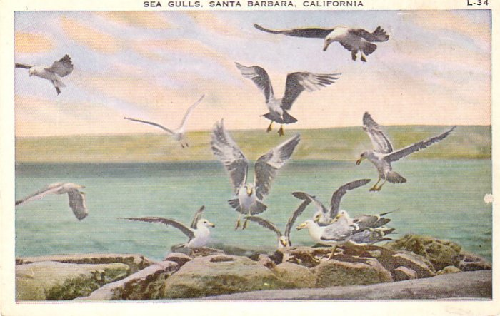 Sea Gulls in Santa Barbara California CA Vintage Postcard - 4872