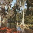 Cypress Trees in Lake Eloise Cypress Gardens Florida FL Chrome Postcard - 5226