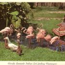 Seminole Indian Girl Feeding Flamingoes in Florida FL 1967 Chrome Postcard - 5229