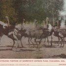 Ostriches Fighting at Cawston Ostrich Farm in Pasadena California CA Postcard - 5271