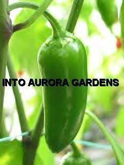 50 Jalapeno Pepper Seeds HOT & ZESTY Organic Vegetable