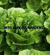 100 Huge Organic Romaine Heirloom Green Lettuce Seeds