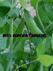 25 Pea Green Arrow Heirloom Seeds Vegetable Gourmet
