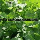 50 Cilantro Coriander Seeds Herb Spice Vegetable