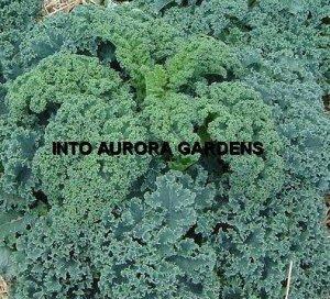 100  Kale Vates Blue Curled Organic Seeds