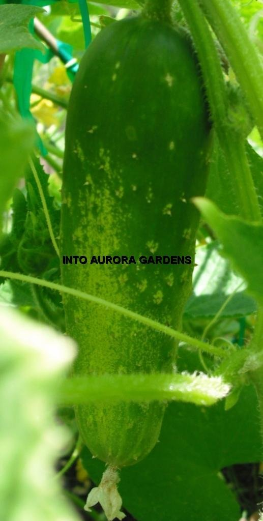 50 Straight Eight Cucumber Seeds Straight 8 Heirloom