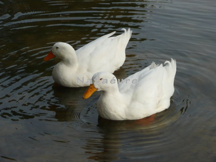 Double Ducks 8x10