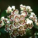 Carousel Mountain Laurel
