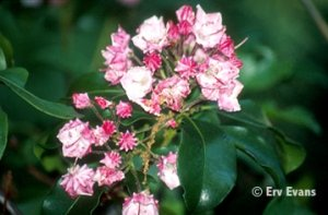 Carol Mountain Laurel Kalmia