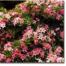 Lollipop Azalea Deciduous 2 gallon