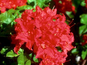 Crimson Tide Azalea 2 gallon