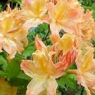 Golden Lights Azalea 2 gallon