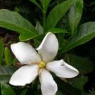 Gardenia Shooting Star