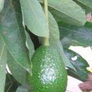 Organic  Rainforest Hair Oil 4 oz