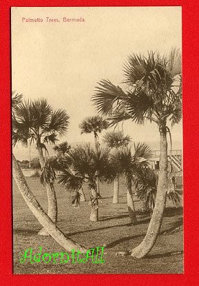 Vintage Postcard - Palmetto trees Bermuda 956