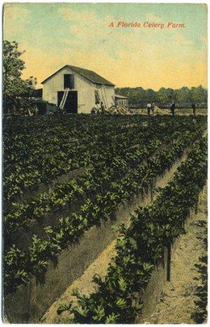 A Florida Celery Farm, c1913 FL Postcard