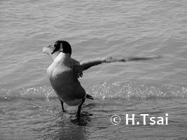 "Canadian Goose 3.5 x 5"" Photo Card"