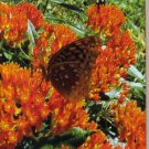 Beautiful Butterfly Weed Greeting Card