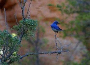 Bluebird on a Limb Greeting Card