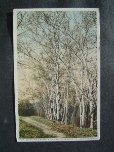 Berkshires Birches ~ Berkshires Hills   Mass