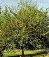 RED MULBERRY TREE SEEDS, ORGANIC SEED, FRUIT ATTRACTS BIRDS, + BONUS REPORT + SEED GROWING HELP