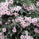 Pandorea Jasminoides Pink Bower Vine - 10 Seeds