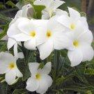 "Rare Dwarf Evergreen ""Bridal Bouquet"" Plumeria pudica  - Live Plant"