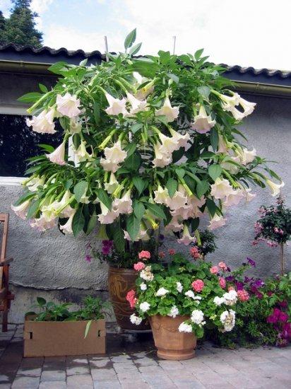 Pink Brugmansia Angel Trumpet Cuttings - 5 Fresh Cuttings