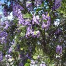 Texas Mountain Laurel Mescalbean Sophora secundiflora - 10 Seeds