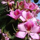 Tree Geranium Pink Orchid Tree Bauhinia variegata - 10 Seeds