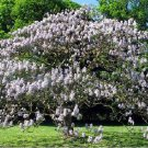 Empress Princess Royal Paulownia Worlds Fastest Growing Tree - 200 Seeds