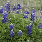 Texas Bluebonnet Lupinus Texensis Flower - 50 Seeds