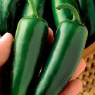 Hot Pepper Mucho Nacho Hybrid Jumbo Jalapeo - 20 Seeds