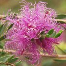 Feather Honey Thyme Myrtle Melaleuca thymifolia - 50 Seeds