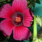October Rose Hibiscus radiatus Rare - 12 Seeds