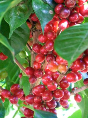 Bulk Costa Rica Coffee Plant Coffea Arabica - 100 Fresh Seeds